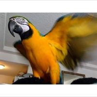 Yellow&Gold Macaw Parrots For sale In California